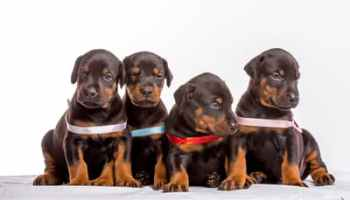 12 Places to Find Doberman Puppies for Sale: Best to Worst