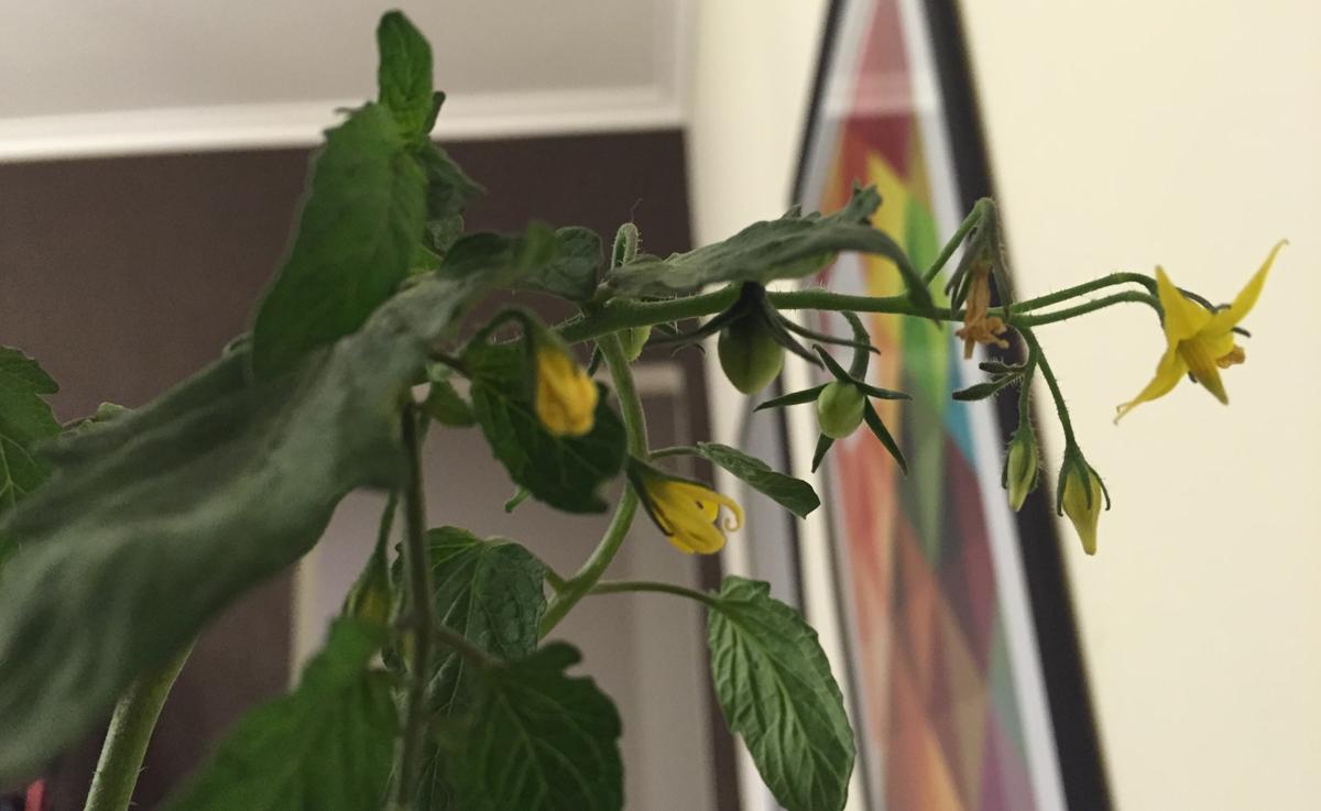 Dicas para tomatinho em apartamento - Cultivar lavanda en casa ...
