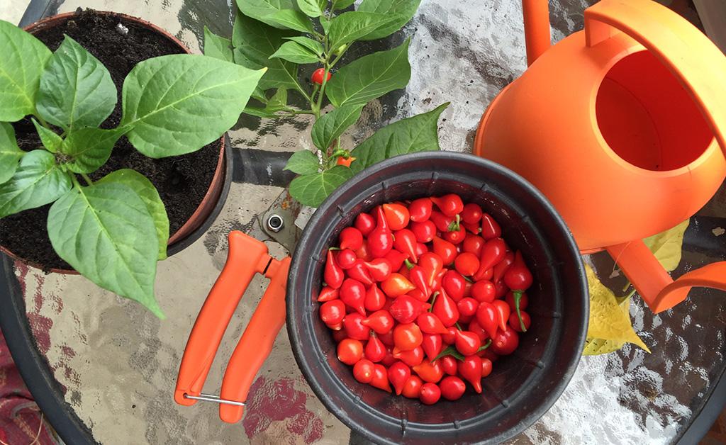 Plantando pimentas em vasos