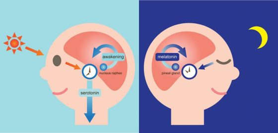 ... are maximal during daylight hours Serotonin levels drop after the onset  of darkness as the pineal gland converts most of the serotonin to melatonin