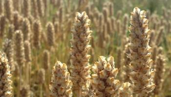psyllium champ plante miracle intestins