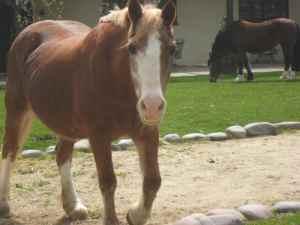 Horse.Carydwyn