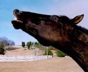 FLEHMEN_Response_horse