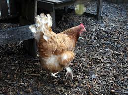 More chicken scratching