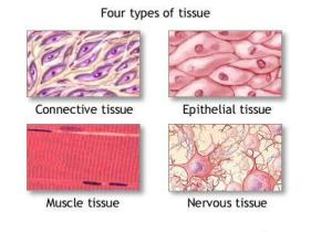 tissue-types-picture