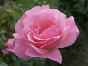 rose_bloom_blooming_flower