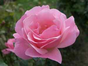 rose_bloom_blooming_flower
