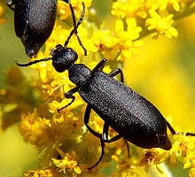 blister_beetle