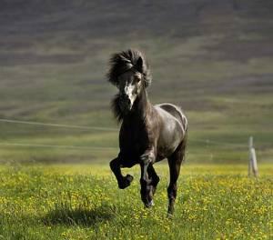 icelandic-horse-SM