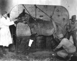 Getting a horse ready for surgery, WWI