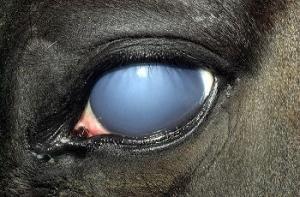 Blue eye means swollen cornea