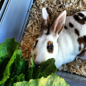 One of my rabbits, Rummy, fermenting her romaine