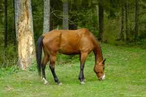 horse-grazing