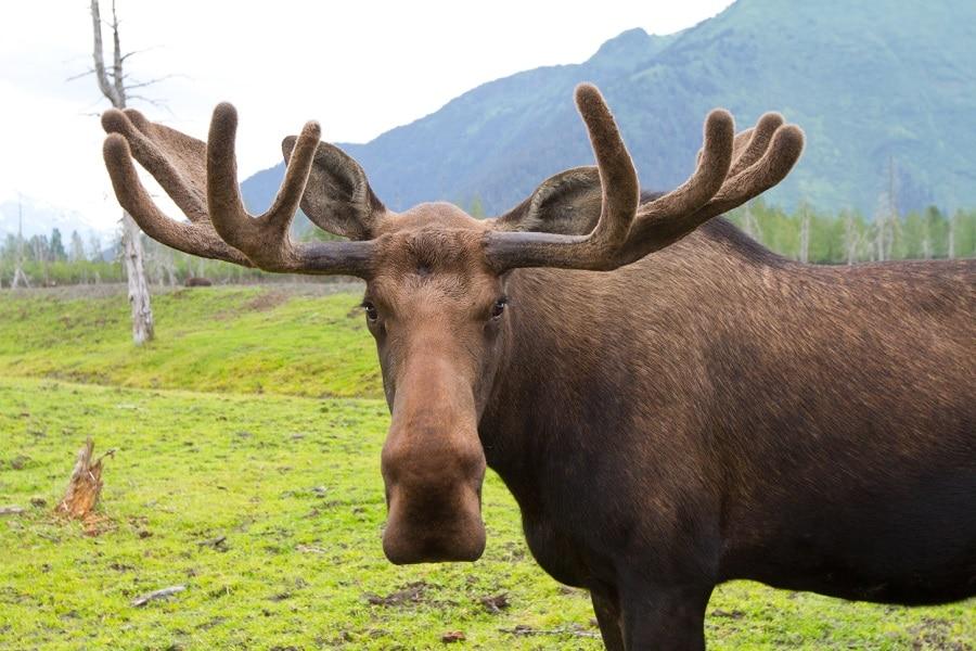 Moose.2.jpg