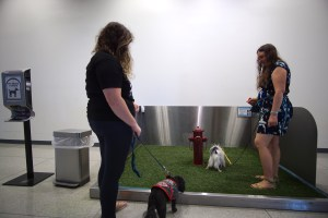 An 8x8 metal box with fake grass and a fire hydrant makes up the pet relief area. Hestia is sniffing around on the grass, Gigi is smelling it but not so sure she wants to get on