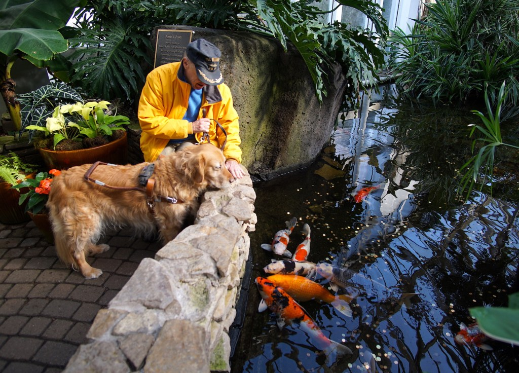 Kent is wearing a blue sweater and yellow jacket, and Linus is wearing a traditional guide harness. They are looking over the wall at GIANT goldfish in the pond.