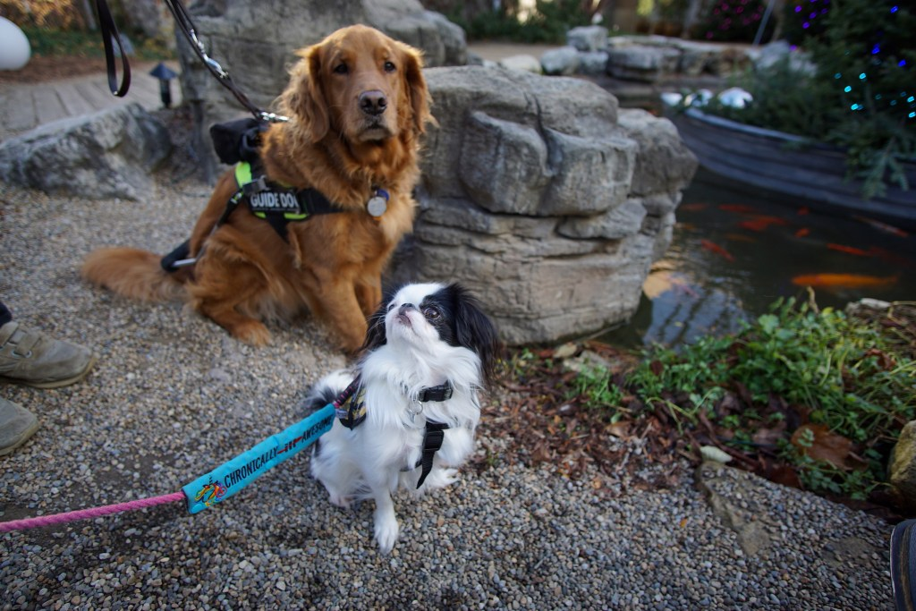 """Hestia and Roger, proudly sitting in front of the fish pond. Hestia's leash slide is clearly visible, it says """"Chronically Ill (with ill crossed out with a red spoon) awesome"""" and has a unicorn on it."""
