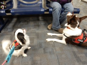 Hestia and Rex in the waiting room, both wearing red vests