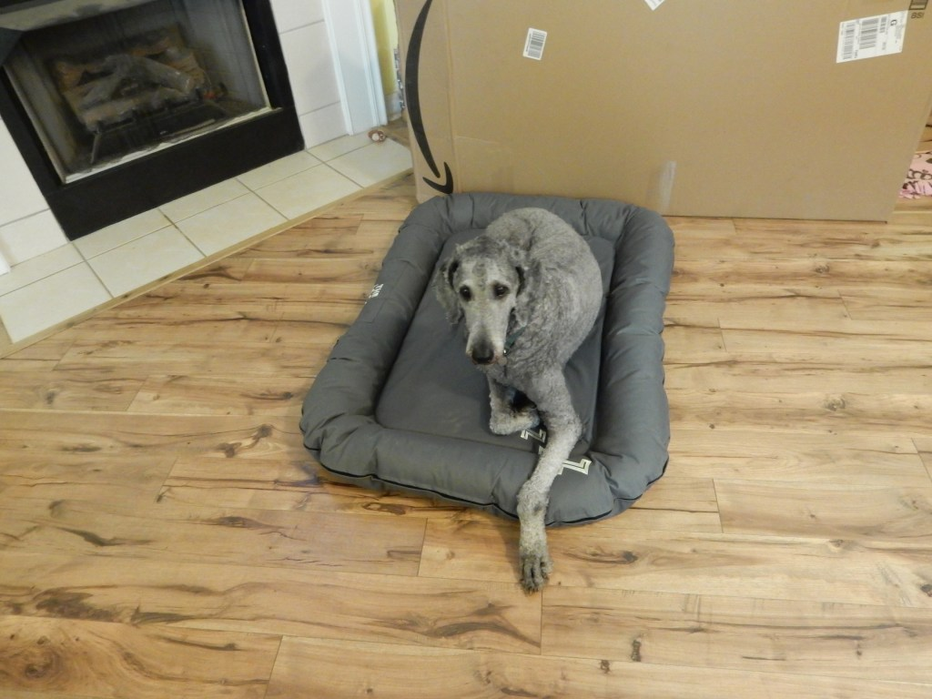 Silver standard poodle laying on his new grey bed.