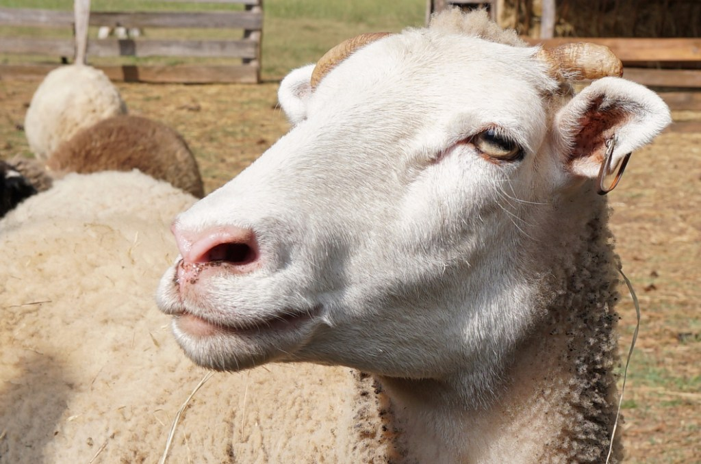 This is a closeup of a sheep's head with its body in the background.  It is a white sheep, a Gulf Coast sheep, which are very rare nowadays.