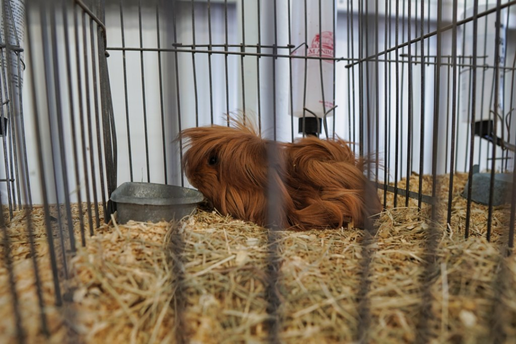 A prize winning red guinea pig with long hair.