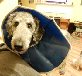Face shot of Ollie in his blue cone of shame. You can see Hestia peeking by next to him, wondering what all this is about!