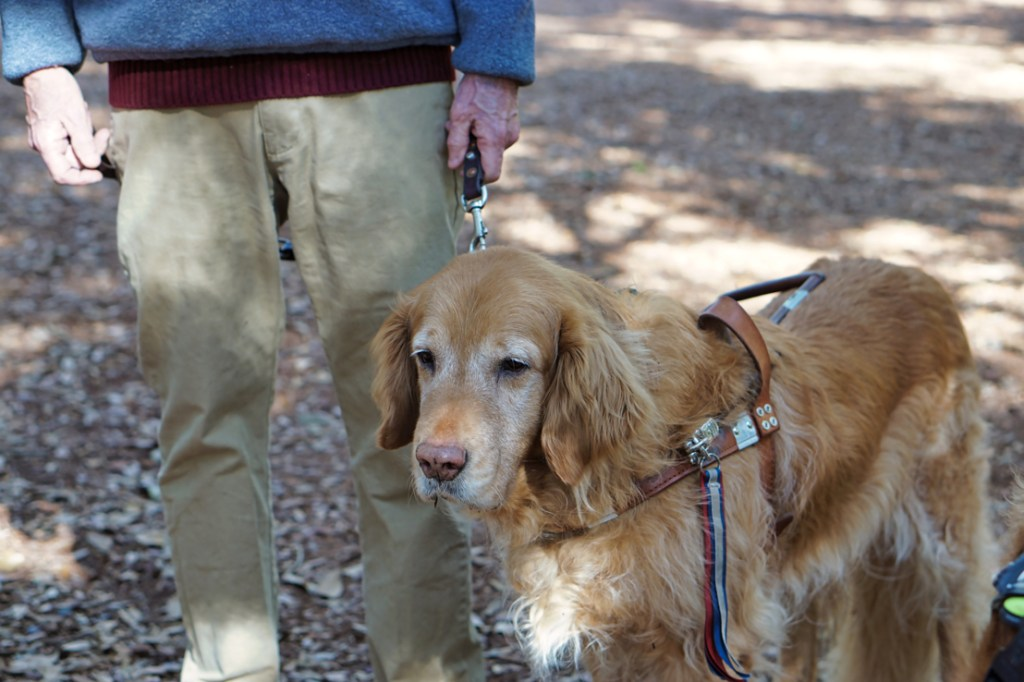 A golden retriever going grey in the face (Linus), and who is Hestia's special friend, enjoys the sights and smells of the Angel Oak tree.