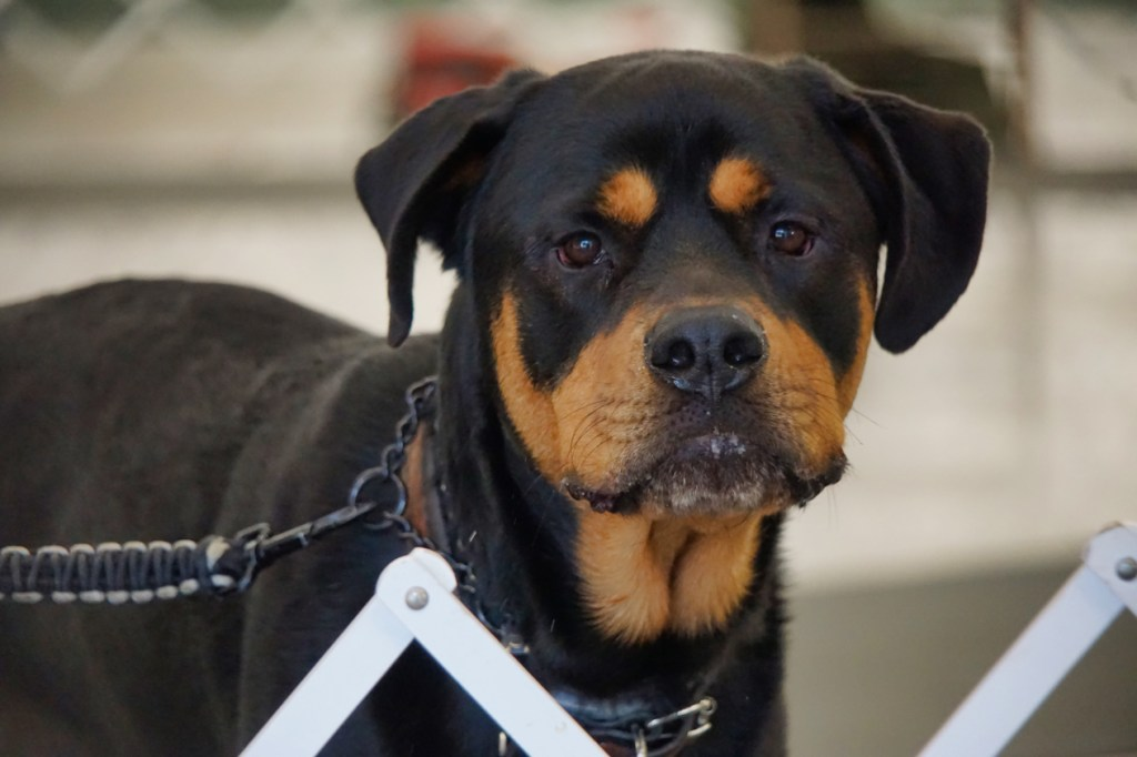 Rottie looks at the camera