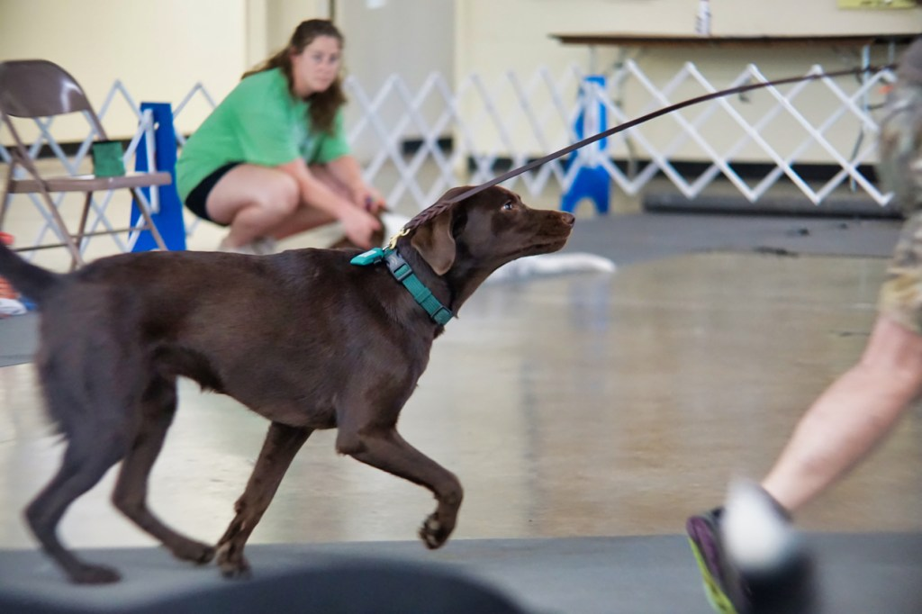 Win, a chocolate lab pup, runs across the room after a stay.