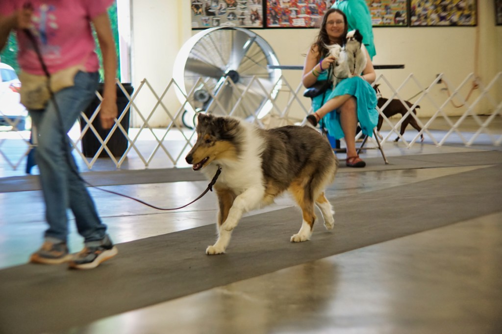 A beautiful collie pup runs across the room with their handler