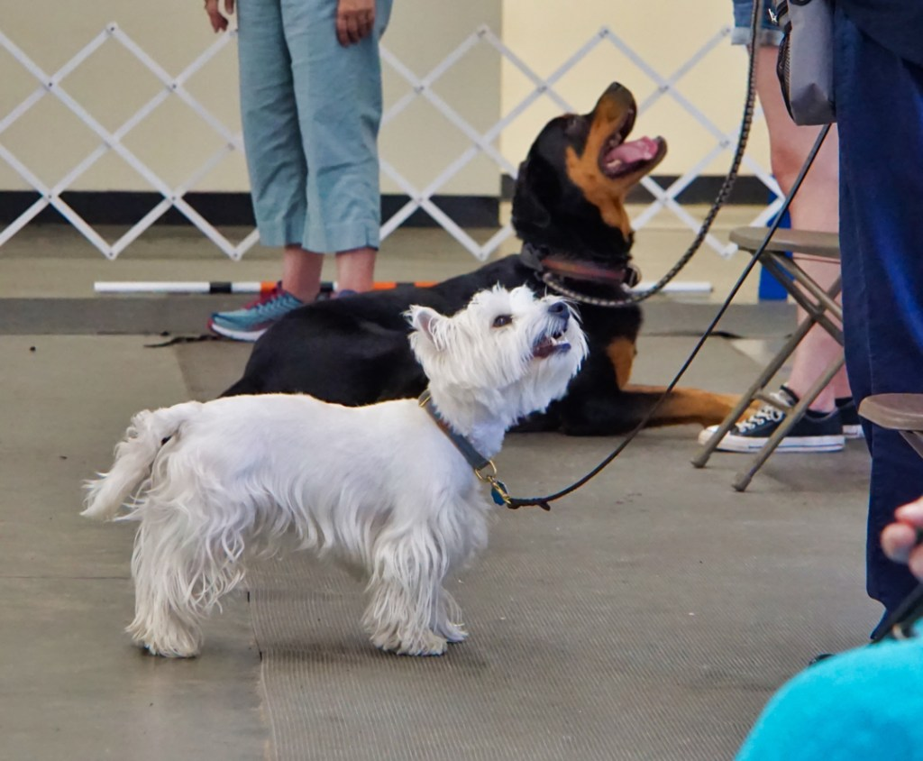 The Westie and Rottie are all eyes on their handlers!
