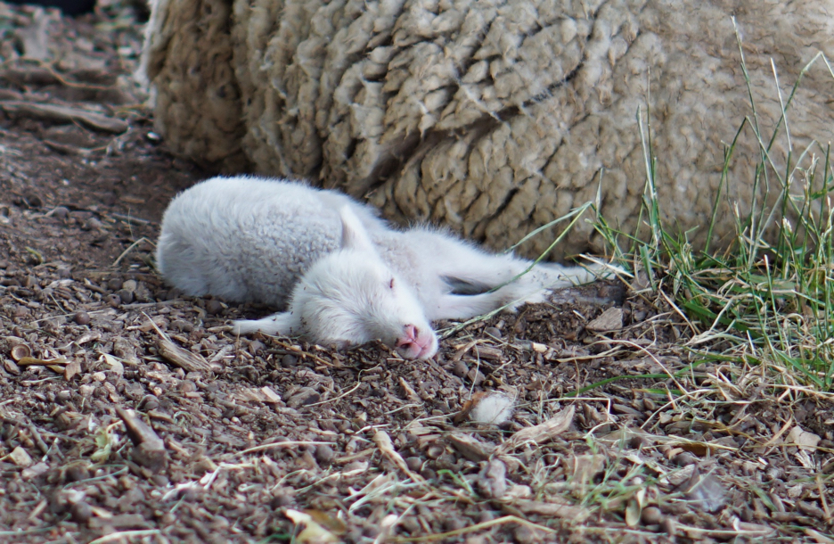 A very very young lamb sprawls out to sleep right next to its mama.
