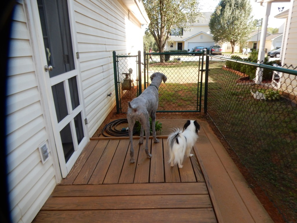 Ollie and Hestia love looking out the side gate!  They are on a small wooden platform that goes from our side door to the yard.