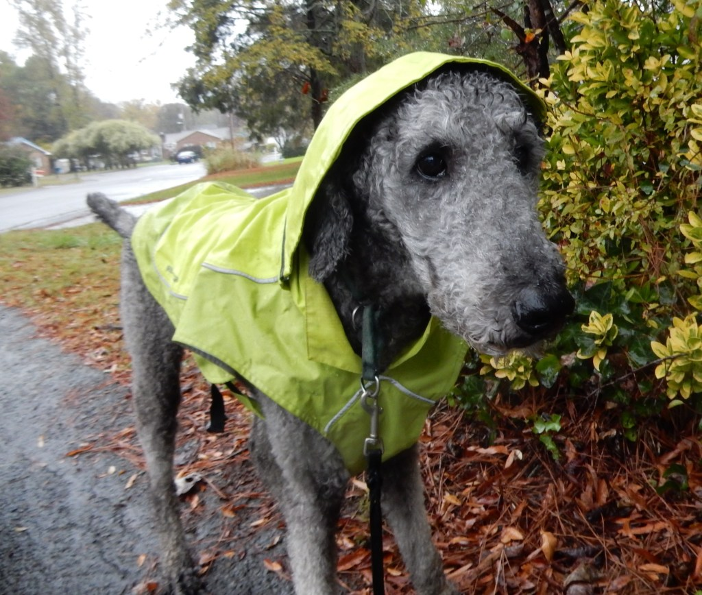 Ollie is up for the adventure, looking like a model in his bright green raincoat against some yellow bushes.  He is looking into the wind with expectations.