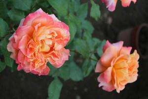 rose_ogura05