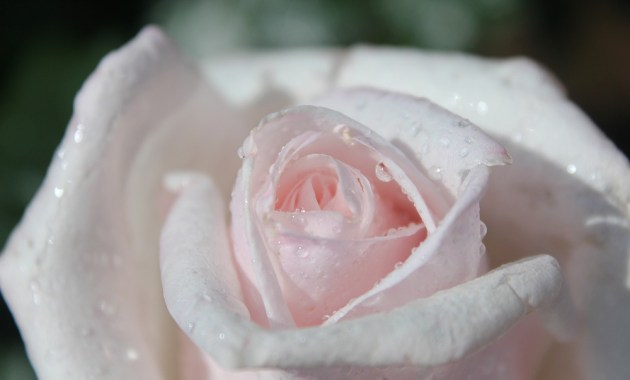 rose_ogura11