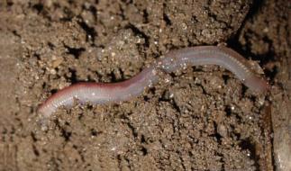 De worm: de grote bemester