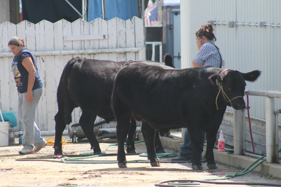 Washing Beef Steers