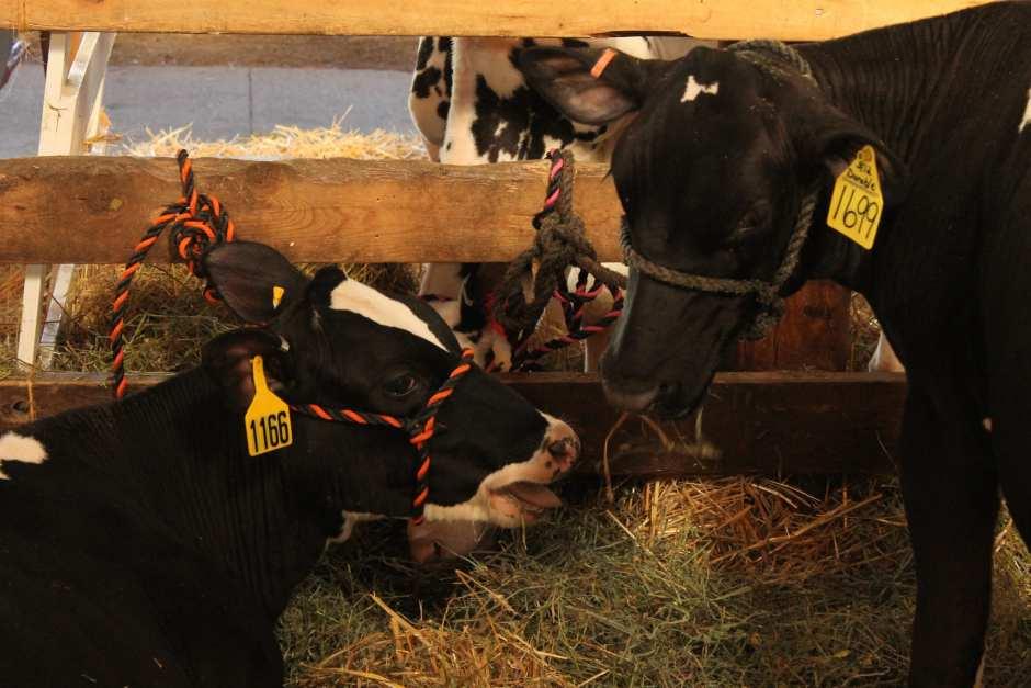 Cattle take it easy