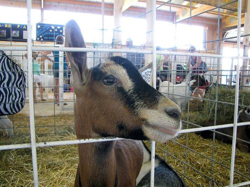 Goats Junior Fair