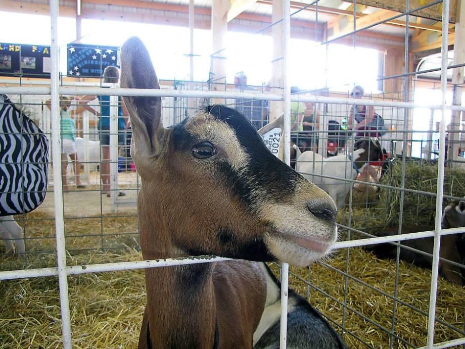 Goats Junior Fair