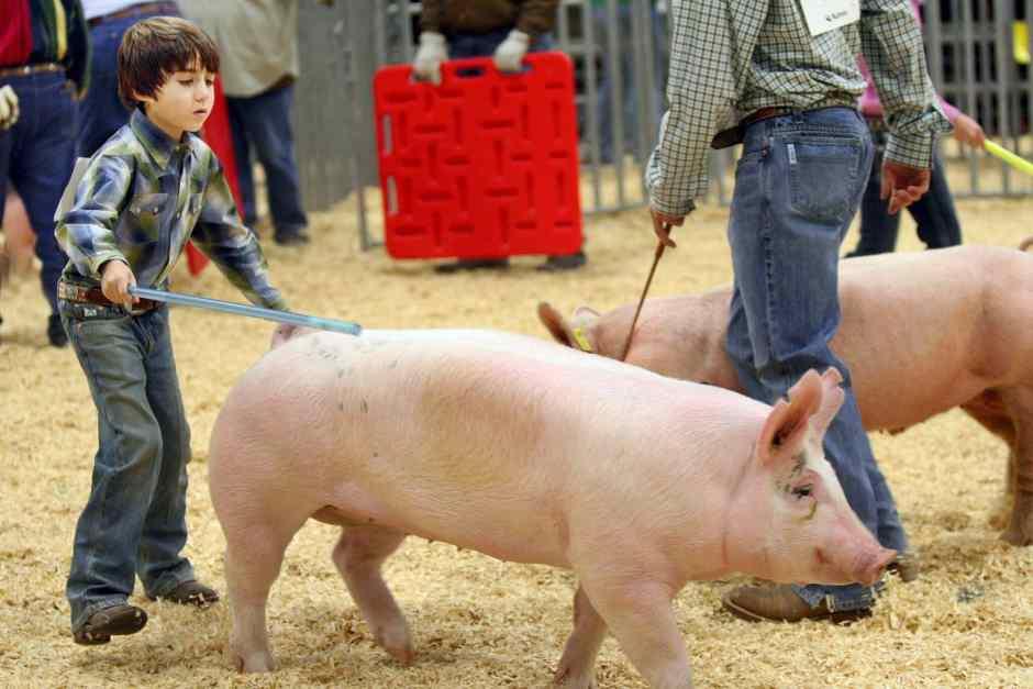 Hog Judging Junior Fair