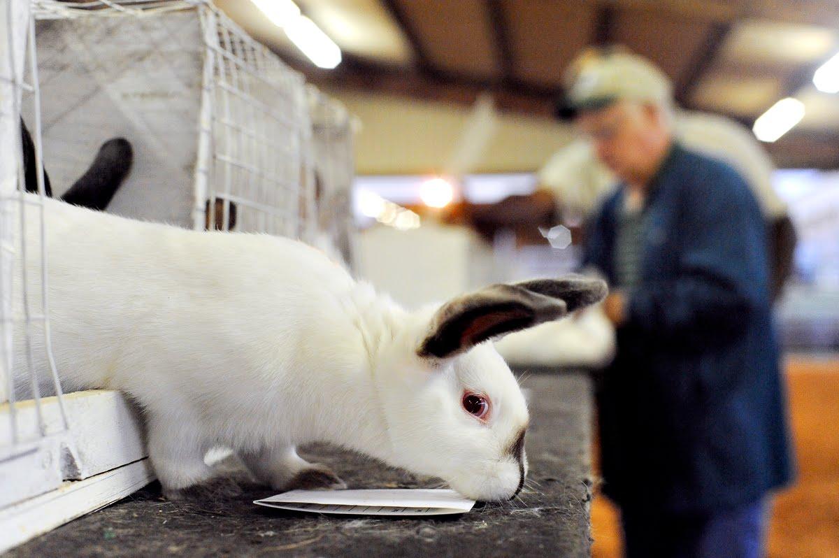 Rabbit Judging Junior Fair
