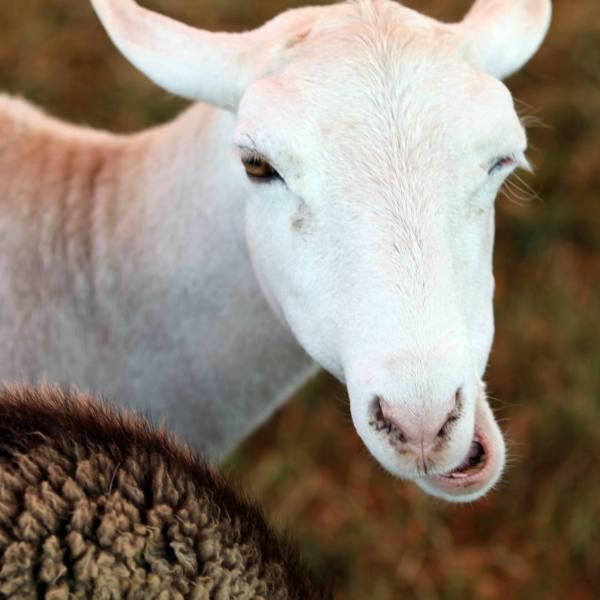 Junior Fair Sheep Judging Results