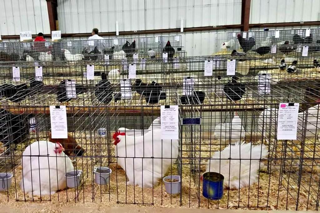 Beaver Pigeon Bantam Show Beaver Dam Wisconsin