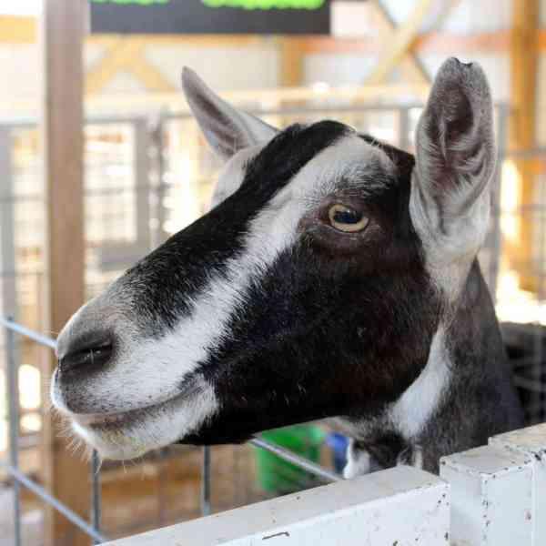 2019 Junior Fair Goat Judging Results