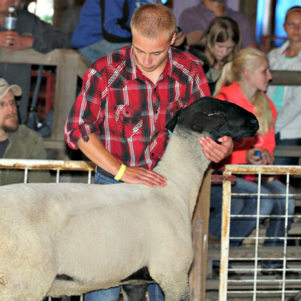 Junior Fair Sheep Lead Class and Breeder Judging