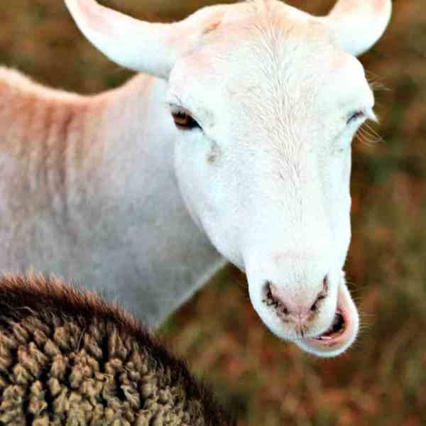 Junior Fair Market Lamb Showmanship Judging