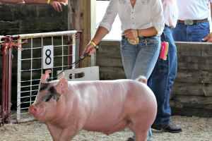 junior fair market hog swine show