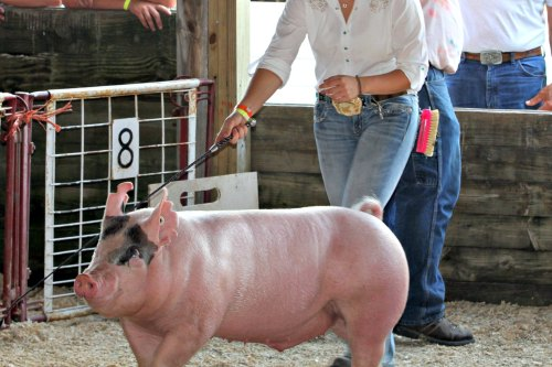 junior fair market hog swine show
